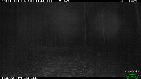 This Sumatran striped rabbit may be even more difficult to see. Photo by: Jennifer McCarthy.