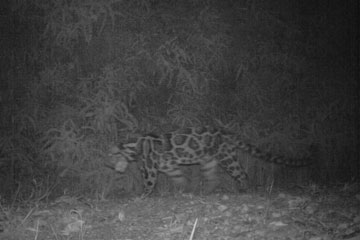 A Sunda clouded leopard (Nefelis diardi) can just barely be made out in the dark. Photo by: Brent Loken/Ethical Expeditions.