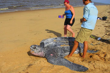 Scientist (right) works with volunteer to collect data on leatherback sea turtle nesting in Suriname. Leatherback sea turtles are listed as Critically Endangered by the IUCN Red List, in part due to drowning from bycatch. Photo by: Jeremy Hance.