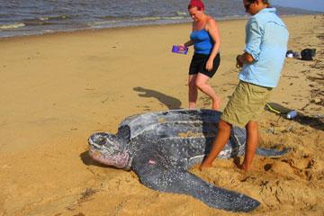 Une scientifique (à droite) travaille avec un bénévole à collecter des données sur une tortue luth nichant au Suriname. La tortue luth est répertoriée comme étant en danger critique d'extinction sur la liste rouge de l' Union internationale pour la Conservation de la Nature, et ce en raison de noyade par prise accessoire. Photo de Jeremy Hance.