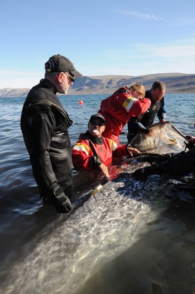 Researchers release narwhal after tagging it. Photo courtesy of WWF.
