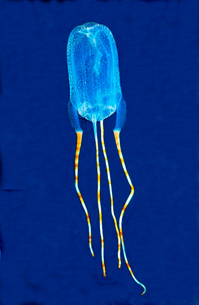 This new jellyfish was named by high school teacher Lisa Peck for what she believed divers must say when they first see the beautiful animal: 'Oh Boy', hence: Tamoya ohboya. It is also called the Bonaire banded box jelly because it was spotted near the island of Bonaire in the Caribbean. The new jellyfish is venomous. Photo by: Ned Deloach.
