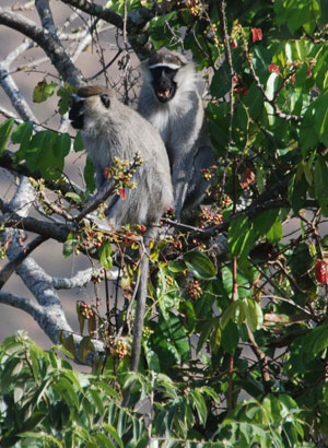 Tantalus monkeys. Photo by: Matt Walters.