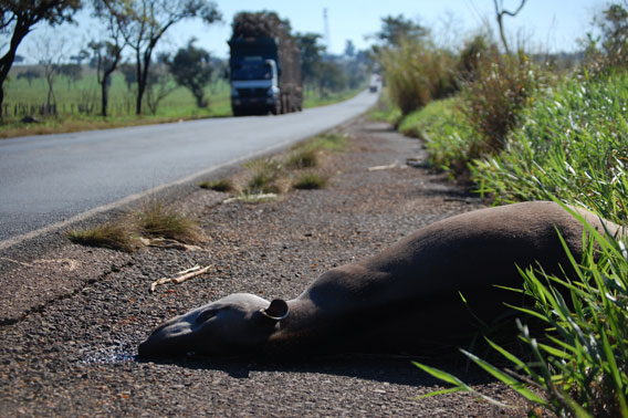 Tapir road kill in highway in the state of Mato Grosso do Sul, Brazil. Road-kill is a major threat to lowland tapirs throughout Brazil. Photo by: Patrícia Medici.