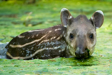 Baby lowland tapir at the CERZA Lisieux Zoo in France. Photo by: Daniel Zupanc, Austria.