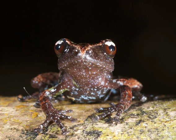 Another view of the misty moss frog. Photo by: Jodi J. L. Rowley/Australian Museum.