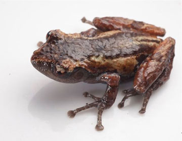 Second new species: the misty moss frog (Theloderma nebulosum).  Photo by: Jodi J. L. Rowley/Australian Museum.
