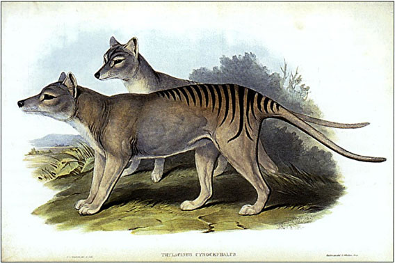 The last thylacine, or Tasmanian tiger, is believed to have died in 1936. However many contend that the species could still survive including unconfirmed sightings in Tasmania, Australia, and New Guinea. The thylacine was the world's largest carnivorous marsupial. Painting by Henry Constatine Richter, 1845.