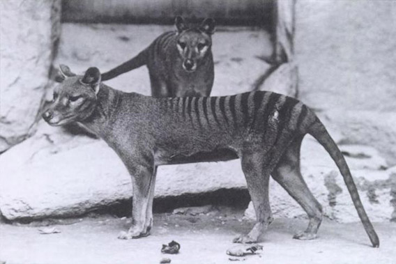 Two Tasmanian tigers in Washington D.C. zoo. The last of the species is believed to have died in 1936, but sightings persist to the present. Photo by: E.J. Keller.