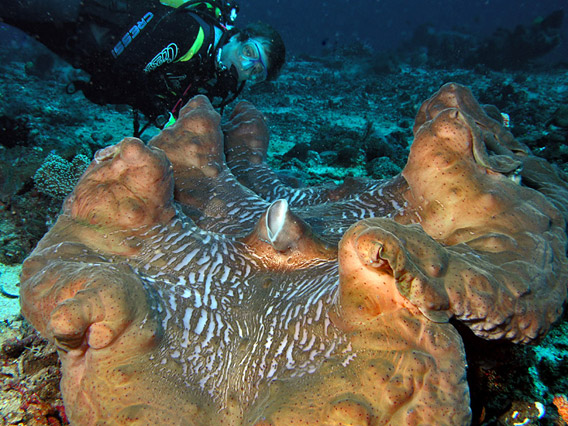 Tridacna gigas in Timor. Photo by: Nick Hobgood.