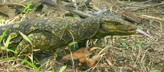 The biggest species from this year's Top 10 New Species List is the six-foot long new monitor lizard Varanus bitatawa from the Philippine island of Luzon. Photo by: Joseph Brown.
