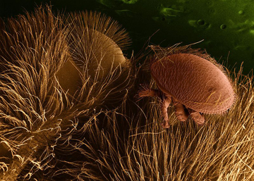 A parasitic mite on a bee that can lead to fatality for the bee host. Photo by: US Department of Agriculture.