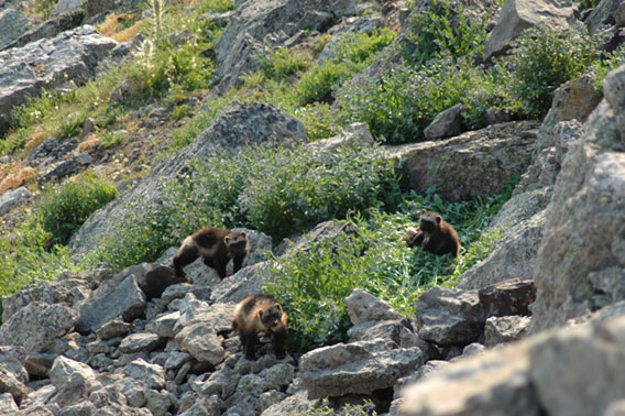 A mother and wolverine cubs photographed in the Greater Yellowstone Ecosystem. Photo by: Mark Packila/Wildlife Conservation Society (WCS).