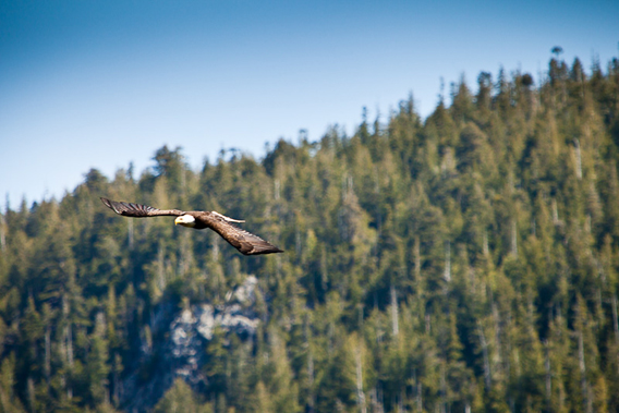 A bald eagle soars over the slopes of the unprotected Upper Walbran Valley on the way to find fish in the river.