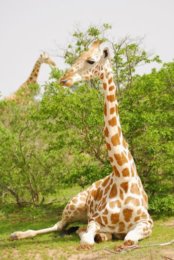Described As In Dire Straits The West African Giraffe Niger Numbers Less Than 1000 Photo By JP Suraud
