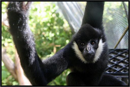 The white-cheeked spider monkey (<i>Ateles marginatus</i>). Photo courtesy of International Rivers.