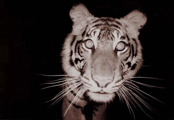 Critically Endangered Sumatran tiger caught on a camera trap. Photo by: Arrdu.