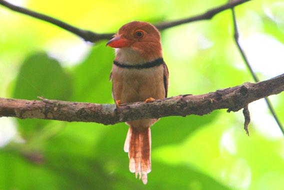 Halsband-Faulvogel (Bucco capensis) im Nationalpark Yasuni im Amazonasgebiet von Ecuador. Foto von Jeremy Hance.