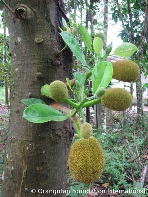 Young jackfruit. Photo courtesy of Orangutan Foundation International.