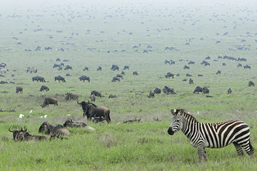 Zebra and wildebeest on the Serengeti. Photo by: David Dennis.
