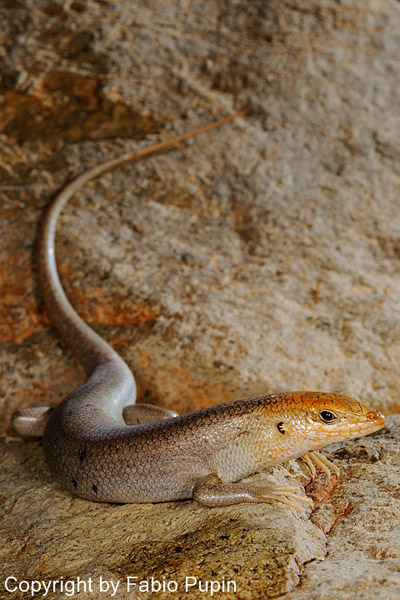 Socotra's other skink: Trachylepis socotrana, endemic to the archipelago and present on all of the islands except Abd Al Kuri. Photo by: Fabio Pupin.