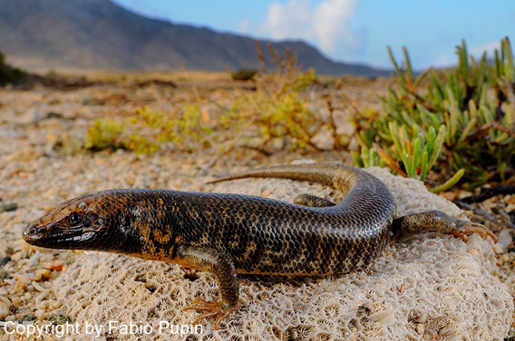 Trachylepis cristinae, a newly described skink that is only found on Abd Al Kuri Island. Photo by: Fabio Pupin.