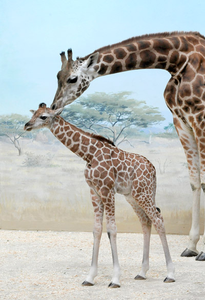 Giraffe calf with mom. Background is a painting. Photo by: Photo by: Julie Larsen Maher/WCS.