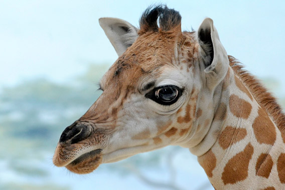 The baby giraffe was born at 6 feet tall and around 100 pounds. Photo by: Julie Larsen Maher/WCS.