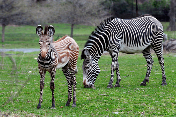 Born at the beginning of the year, a Grey's zebra foal has made its first appearance at the Wildlife Conservation Society's (WCS) Bronx Zoo. Photo by: Julie Larsen Maher.