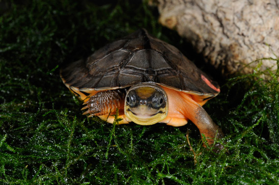 Hatchling of a golden coin turtle, which was captive bred at the Bronx Zoo. The golden coin turtle is number 9 on the most endangered turtles list and is found only in China. Photo by: Julie Larsen Maher/WCS.