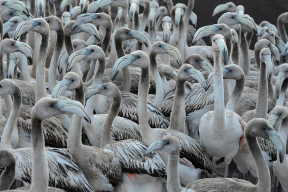 Juvenile Caribbean flamingos in the corral waiting to be examined and banded. Photo by: Julie Larsen Maher.