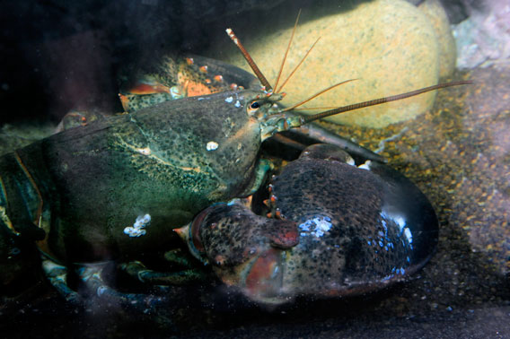 18-pound lobster in his new home. Photo by: Julie Larsen Maher/WCS.