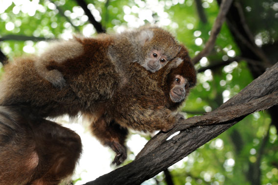 A four-month old baby Bolivian gray titi monkey hangs from its mother at the Wildlife Conservation Society's Bronx Zoo. Photo by: Julie Larsen Maher © WCS.