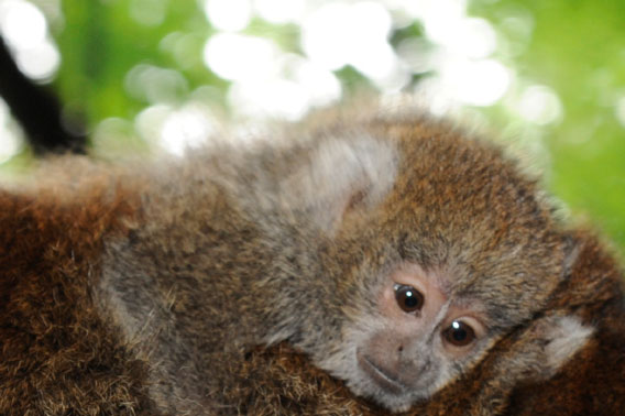 Close-up of baby Bolivian gray titi monkey at the Wildlife Conservation Society's Bronx Zoo. Photo by: Julie Larsen Maher © WCS.