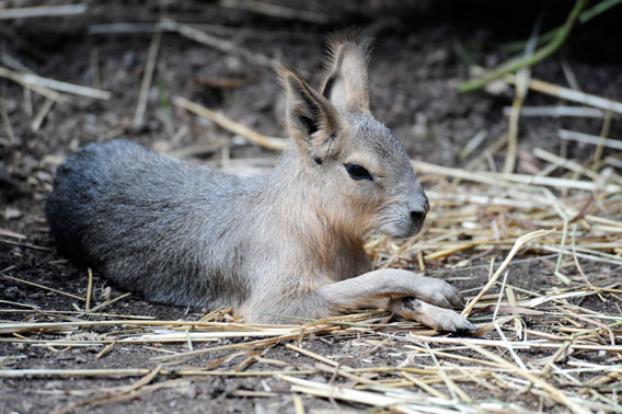 A two week old Patagonian mara makes his photographic appearance at the Wildlife Conservation Society's (WCS) Central Park Zoo. Photo by: Julie Larsen Maher © WCS.