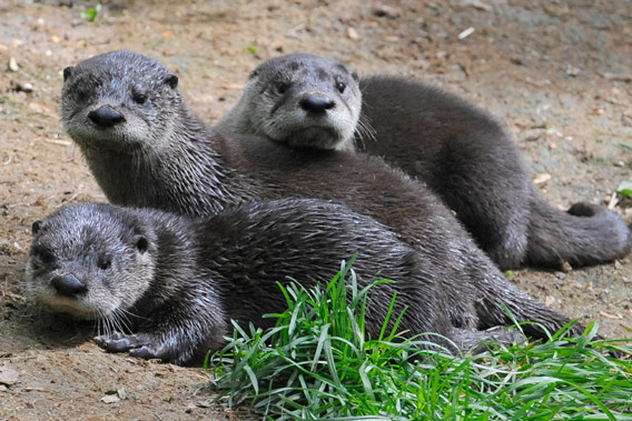 Three baby North American river otters at the Prospect Zoo. Photo by: Julie Larsen Maher.
