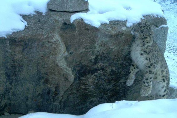 Snow leopard caught by camera trap in Afghanistan. Photo by: Wildlife Conservation Society.