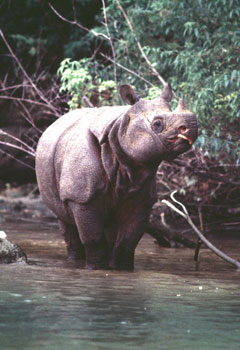 The Critically Endangered Javan Rhino, now found only in Ujung Kulon National Park of Indonesia. Photo courtesy of: International Rhino Foundation.