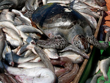 By-catch: species that are accidently killed by industrial fishing methods. Photo by: A. Fallabrino.