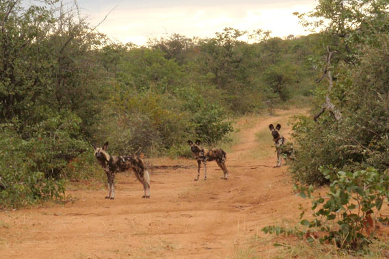 A male African wild dog (center) has been recorded traveling 250 miles across two countries. Photo by Wild At Tuli.