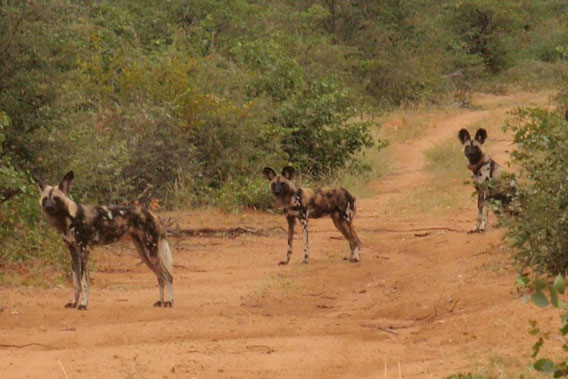 A closer look at the African wild dogs. Photo by Wild At Tuli.