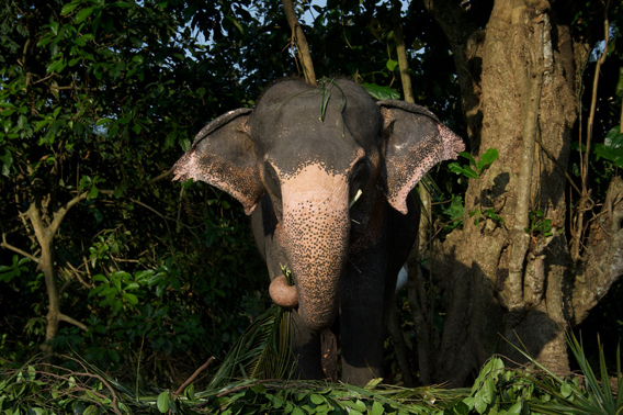 A captive Asian elephant cow, Millennium Elephant Foundation, Sri Lanka. Photo by: Ahimsa Campos-Arceiz.