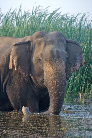 Asian elephant bull in the water, Bundala National Park, Sri Lanka. Photo by: Ahimsa Campos-Arceiz.