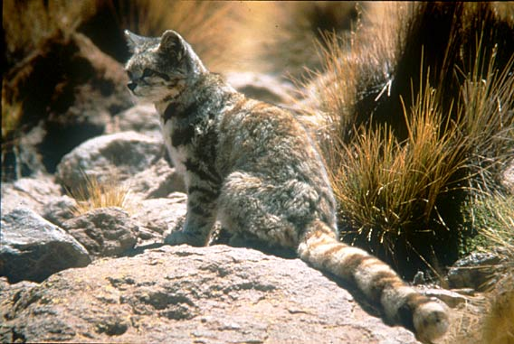 The Andean cat. © Jim Sanderson, PhD/Small Wild Cat Conservation Foundation..