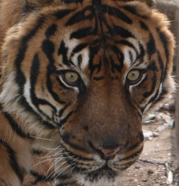 Sumatran tiger in captivity.
