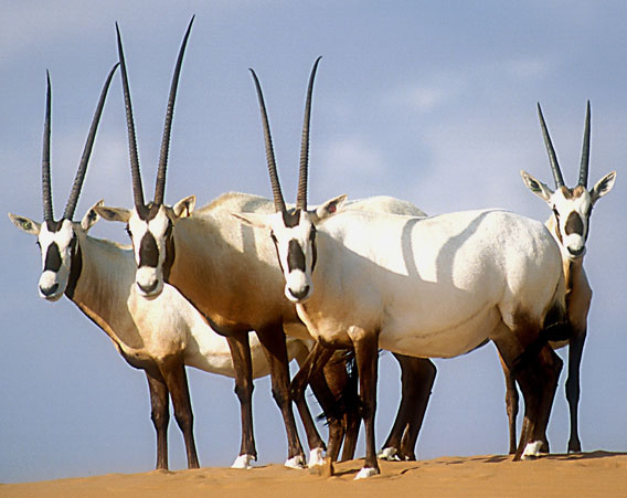 Formerly occurring throughout most of the Arabian Peninsula, the Arabian Oryx has been reintroduced to five countries. Illegal live capture for sale to private collections remains a constant threat, and poaching continues to threaten individuals who wander outside of release sites. Drought and overgrazing have affected habitat quality in places, limiting potential future release sites. Despite these issues, its relatively steady wild population growth qualifies the Arabian Oryx to be downlisted in 2011 from Endangered to Vulnerable. Photo by: David Mallon