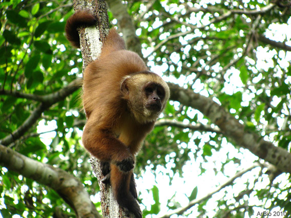 Brown capuchin (Cebus apella), observed in social groups of 6 to 18 individuals. Photo by: Arbio.