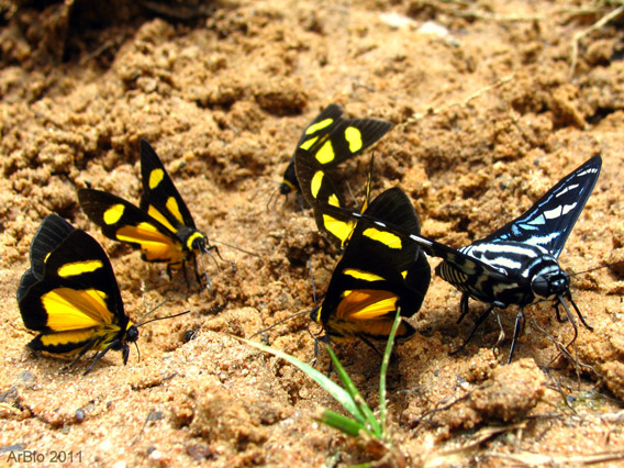 The Madre de Dios region is characterized by the world's highest diversity of butterflies. There are over 1200 species. Photo by: Arbio.