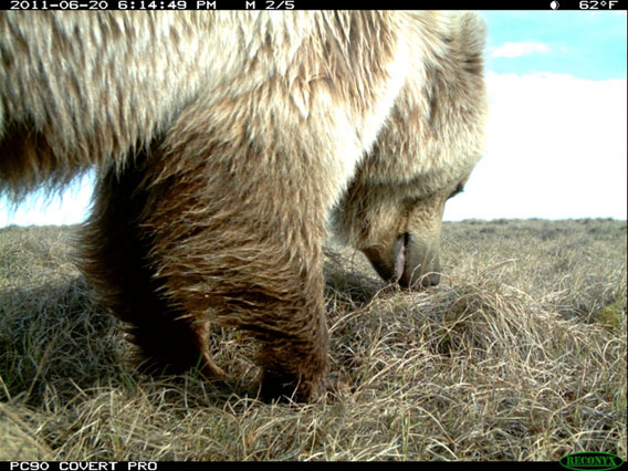 Grizzly bear sniffing around close to camera. Photo by: WCS.