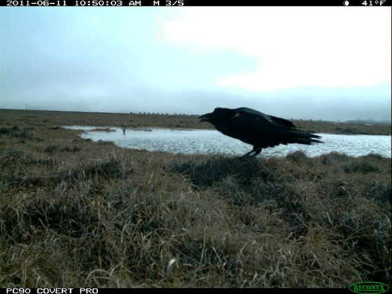 A common raven in the Prudhoe bay oil field caught by the camera trap removing an egg from a Lapland longspur nest. Photo by: WCS.